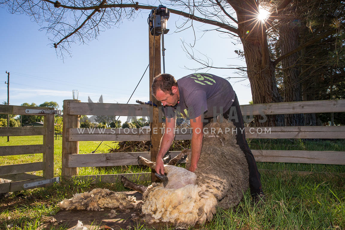 farmer shearing sheep