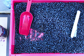 Bilberries and Blueberries