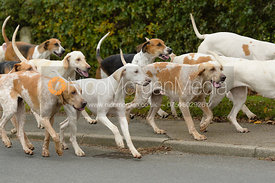 Quorn hounds at the meet at Jubilee House