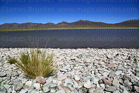 Ichu grass on shore of Laguna de Sal, Cordillera de Sama Biological Reserve, Bolivia