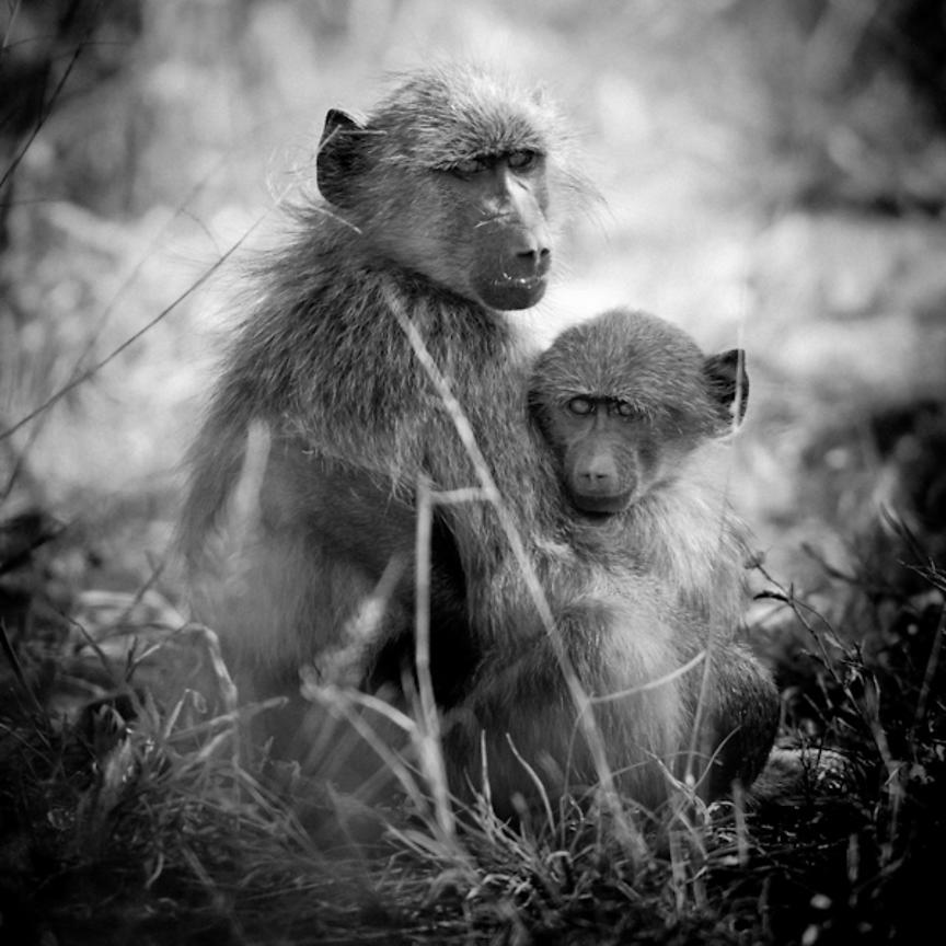 9492-Baboons_huddled_together_Laurent_Baheux