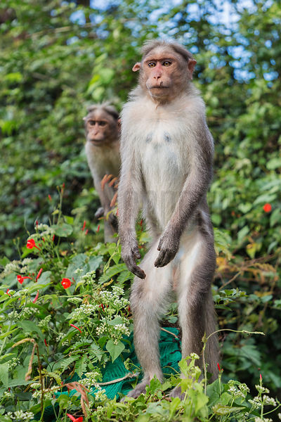 Bonnet Macaque Standing on its Hind Legs at a Tourist Rest Stop
