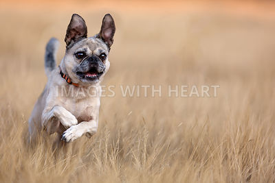 Puggle running in tall grass