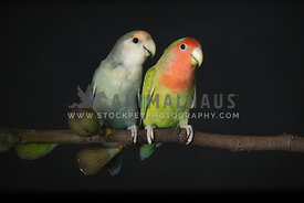 Two young lovebirds sitting on a branch on a black background