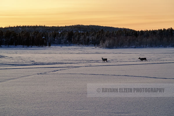 Reindeer at sunrise