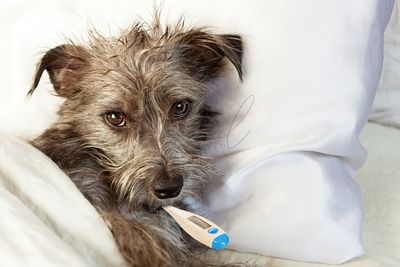 Sick Dog In Bed With Thermometer