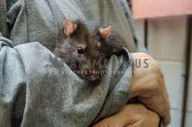 A caucasian volunteer at the animal shelter holds a domestic brown  rat in her arms