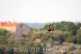 Common Swift Apus apus Spain June