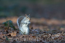 Grey (Eastern Gray) Squirrel Sciurus carolinensis in garden Norfolk winter