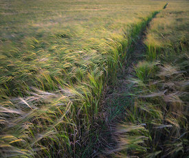 Walk through the wheat field