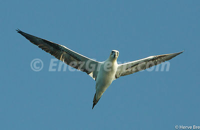 Gannet in Outer Hebrides