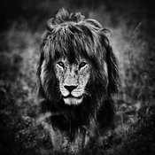 00077-Lion_walking_through_the_grass_Tanzania_2018_Laurent_Baheux