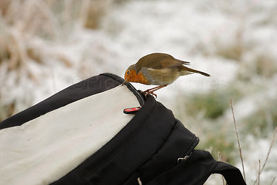Robin Checks Pecking Ruksac on a Snowy Morning