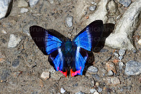 Male Dyson's Blue Doctor butterfly ( Rhetus dysonii )