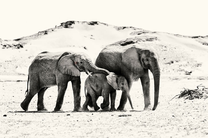 Desert Adapted Elephants Walking across a Dusty Plain