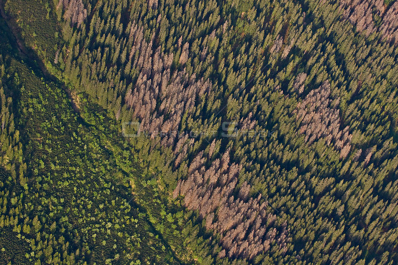 Aerial view of border between spruce forest and Dwarf mountain pine (Pinus mugo) zones showing several trees killed by Bark beetle (Scolytidae) Western Tatras, Carpathian Mountains, Slovakia, June 2009