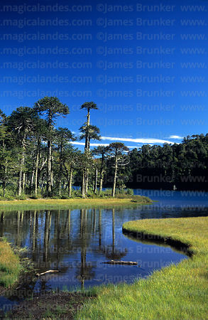 Monkey Puzzle (Araucaria araucana) forest and Laguna Toro, Huerquehue National Park, Region IX, Chile