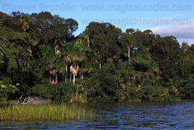Rainforest on shore of Lake Chalalan , Madidi National Park , Bolivia