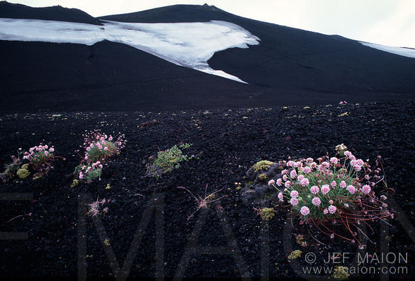 Flowers on a volcano