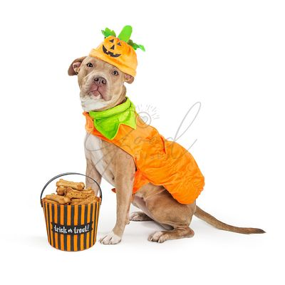 Large Dog in Pumpkin Halloween Costume