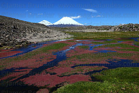 Red algae growing in stream in bofedales, Payachatas volcanos in background , Lauca National Park, Region XV, Chile