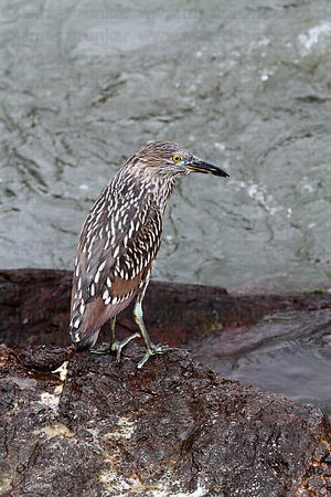 Juvenile black crowned night heron (Nycticorax nycticorax hoactli)