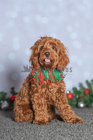 full body, sitting cockapoo wearing green and red Christmas collar