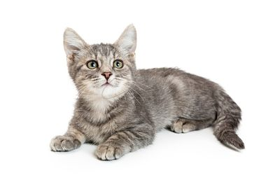 Young Grey Tabby Kitten Lying on White