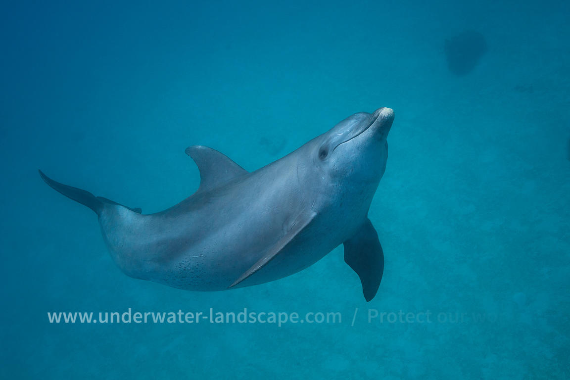 Bottlenose dolphin -  Tursiops Aduncus
