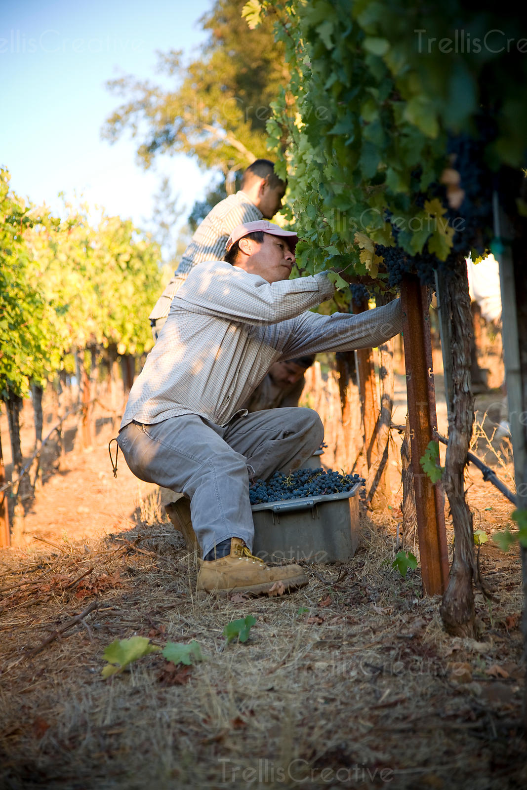 Latino worker harvests grapes at sunrise
