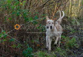 Cottesmore hounds explore Owston Wood.