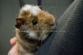 A brown and white baby guinea pig is cuddled