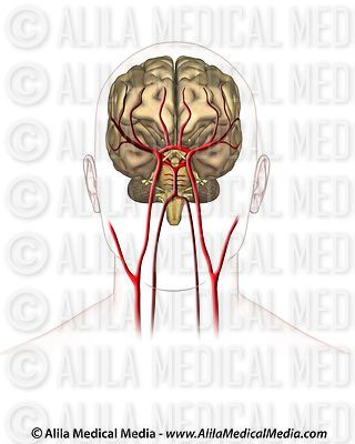 Blood supply to the brain, anterior view unlabeled.