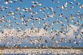 Snow Geese Taking Flight #3
