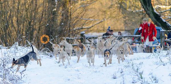 The Cottesmore hounds head into Owston Big Wood