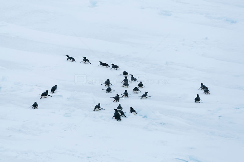 Aerial view of Adelie penguins (Pygoscelis adeliae) group tobogganing, Prydz Bay, East Antarctica, November.