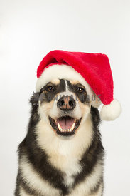 Husky Mix Dog Wearing Santa Hat