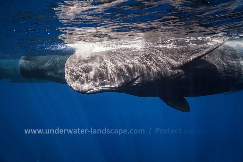 Sperm Whale over the surface in Mauritious