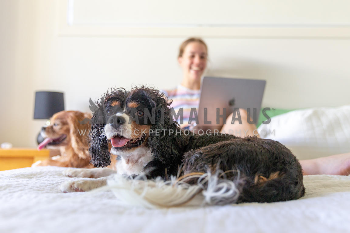 Happy dog on a bed with owner on a laptop behind him laughing