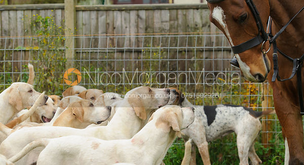 Cottesmore foxhounds - The Cottesmore Hunt meet at Oak House, Tilton On The Hill, Saturday 31st October 2015.
