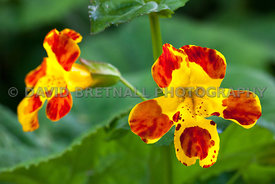 Monkey Flower (Mimulus Luteus or Blood Drop Emlets)