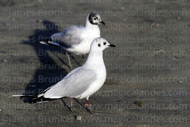 Adult Andean gull (Larus or Chroicocephalus serranus) in winter / non-breeding plumage (front)