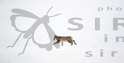 Eurasian Lynx, Lynx lynx, has catch the mole