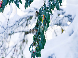 Redwing, Turdus iliacus, eating berries off a snow covered tree in a semi rural garden.