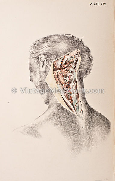 Anatomy of the Back of the Neck
