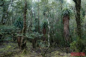 Temperate rainforest Tasmania Australia