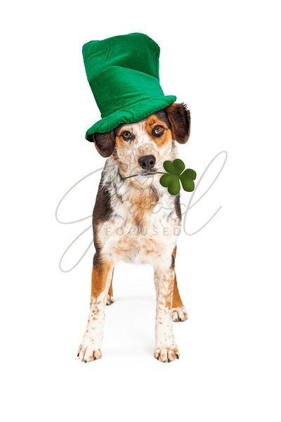 St Patricks Dog Holding Clover Wearing Hat