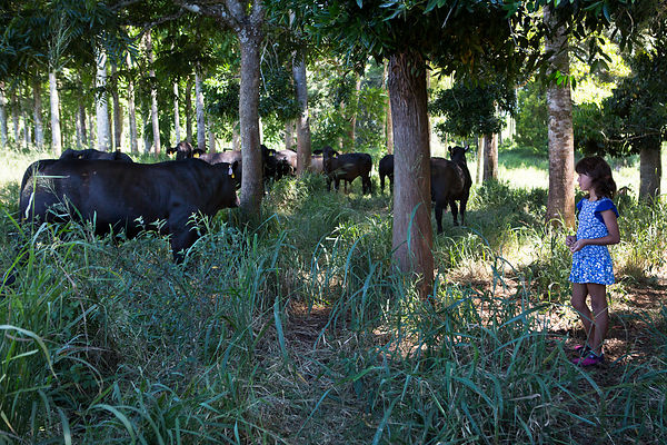 Mizuki, 9 ans et le troupeau de vache Angus appartenant à son père élever de façon extensive, plateau Atherton, Queensland, Australie / Mizuki, 9 years old and the Angus cow herd owned by her father extensively raising, Atherton Plateau, Queensland, Australia