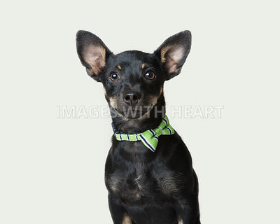 Small black dog with bowtie
