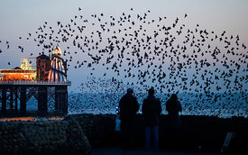 Starlings  Sturnus vulgarus arriving to roost at Palace Pier Brighton winter